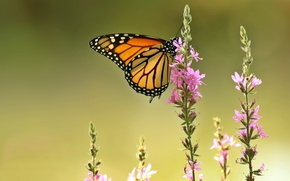 Picture macro, flowers, background, butterfly, The monarch, Loosestrife loosestrife, Plakun-grass
