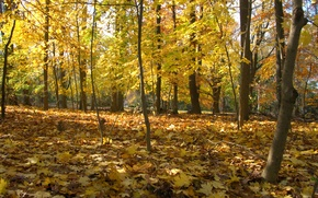 Picture autumn, forest, leaves, trees, Park, forest, Nature, falling leaves, trees, yellow, park, yellow, autumn, leaves, …