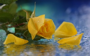 Picture yellow, water, rose, flower, drops