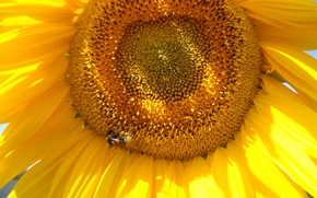 Picture summer, the sky, bee, sunflower