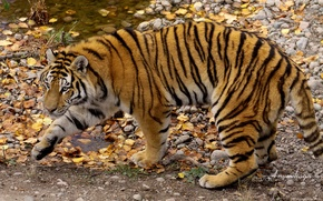 Wallpaper autumn, To amurska, the Amur tiger