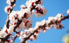 Picture Tree, spring, flowering