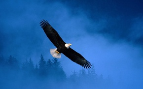 Wallpaper Eagle, Flight, flight, Alaska, eagle, freedom