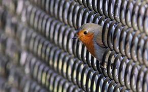 Picture photo, animal, Bird, robin