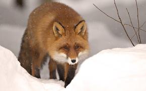 Picture winter, snow, nature, animal, Fox, beast, fox, winter, snow, animal