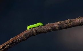 Picture caterpillar, branch, 155