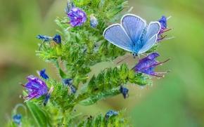 Wallpaper flower, macro, butterfly, blue
