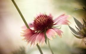 Picture flower, background, petals, bokeh, Rudbeckia