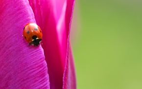Picture macro, bright, Tulip, ladybug, insect