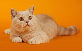 Picture cat, cat, look, red, lies, Orange background