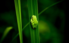 Picture green, plant, swamp, frog, nature