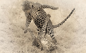 Picture animals, cats, the game, Cheetah, cheetahs