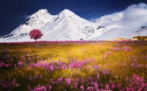 Picture flowers, snow, field, mountains, nature