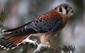 Picture winter, snow, needles, bird, spruce, branch