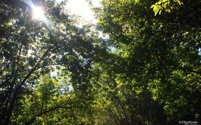 Picture greens, the sun, foliage