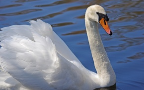 Picture white, water, bird, Swan