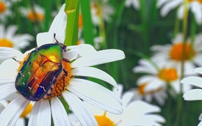 Picture summer, macro, flowers, green, glade, chamomile, beetle, insect, beautiful, bug, brilliant, brantovka, Wallpaper from lolita777, ...