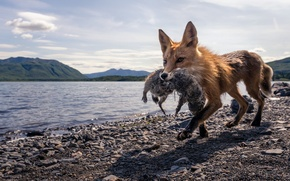Picture Fox, hunting, nature
