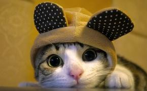 Wallpaper cat, cat, hat, muzzle