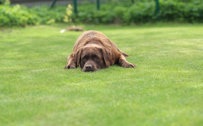 Picture grass, Labrador, sad