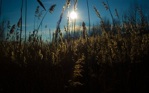 Picture the sun, nature, The reeds