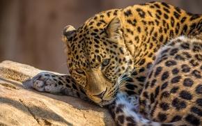 Picture animals, predator, leopard, zoo