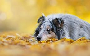 Picture autumn, look, background, foliage, dog, puppy, lies, collie