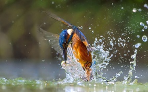 Picture water, squirt, bird, fish, Kingfisher, catch