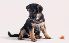 Wallpaper cute, puppy, German shepherd