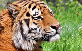 Picture cat, face, tiger, wool