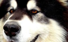 Picture husky, Malamute, Alaskan Malamute, Yakut, sled dogs, snow carrousel jackpot, the best dog in the …