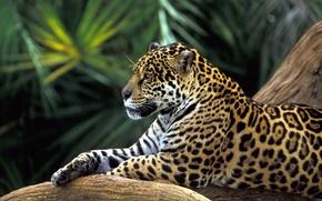 Picture leopard, lies resting, big cat