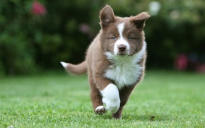 Picture grass, Puppy, runs, border collie, Border collies