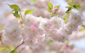 Wallpaper cherry, branch, spring, Sakura