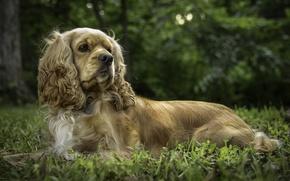 Picture dog, posing, Cocker Spaniel
