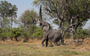 Picture trees, elephant, trunk