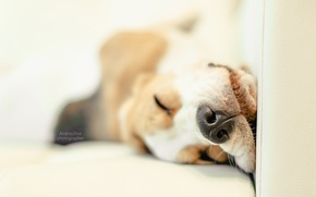 Picture dog, puppy, puppy, dog, pet, dogs, Beagle, beagle, snappy, pup, snoopy, Snoopy