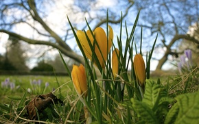 Picture flowers, spring, crocuses, yellow