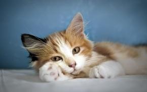 Picture cat, look, comfort