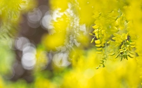 Wallpaper macro, flowers, Japan, bokeh, acacia