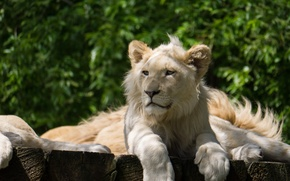 Picture cat, shadow, cub, lion, white lion