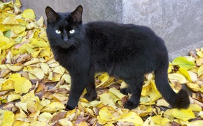 Picture autumn, cat, eyes, cat, look, leaves, foliage, black, yellow, tail, gold