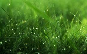 Wallpaper Rosa, grass, greens, drops