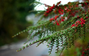 Picture leaves, macro, berries, branch