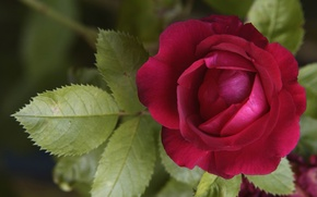 Picture flower, leaves, red, rose, petals