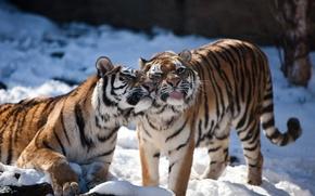 Picture language, cat, snow, tiger, pair, Amur