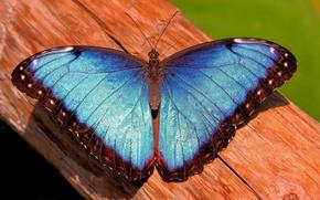 Picture butterfly, trunk, morpho, mrpho