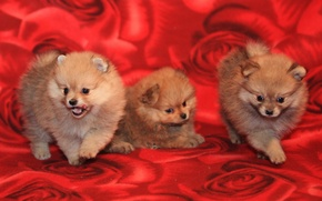 Picture dogs, puppies, pussies, three, Spitz