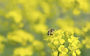Picture nature, bee, rape