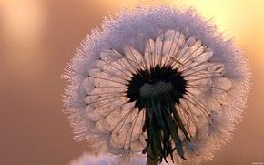 Picture flowers, dandelion, beautiful